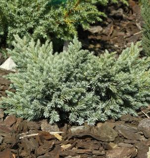 Blauer Sternwacholder 10-15cm - Juniperus squamata