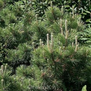 Japanische Schwarzkiefer Banshoho 30-40cm - Pinus thunbergii