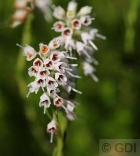 10x Siebenbürgerheide Raika - Erica spiculifolia