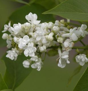Edelflieder Angel White - Kircher-Collection 80-100cm - Syringa hyacinthiflora