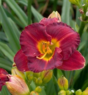 Taglilie Highland Love - Hemerocallis cultorum