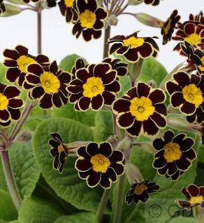 Himmelschlüssel Gold Lace Black - Primula elatior - Vorschau