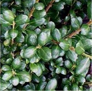Löffelilex Stechpalme 30-40cm - ilex crenata Rotundifolia