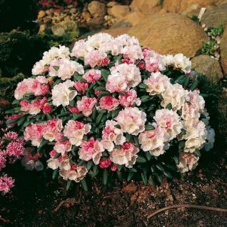 Rhododendron Koichiro Wada 30-40cm - Alpenrose