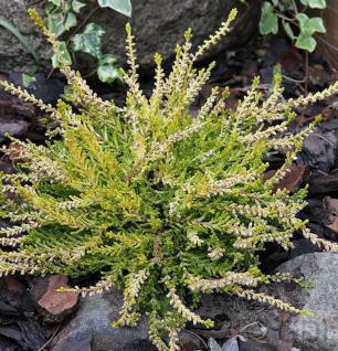 10x Besenheide Gold Haze - Calluna vulgaris