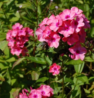Hohe Flammenblume Windsor - Phlox paniculata
