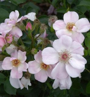 Floribundarose Roseromantic 30-60cm