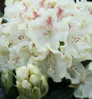 Wild Rhododendron annae 40-50cm - Rhododendron annae
