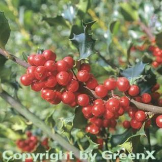 Hochstamm Fruchtende Stechpalme Ilex Blue Princess 80-100cm - ilex meserveae