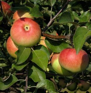 Säulenapfel Charlotte 60-80cm - dunkelrote bis grüne Früchte