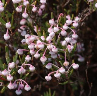 Lavendelheide Nikko - Andromeda polifolia