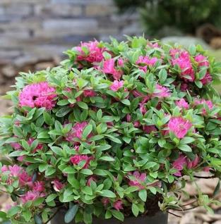 Japanische Azalee Diamant Rot 30-40cm - Rhododendron obtusum - Zwerg Alpenrose - Vorschau