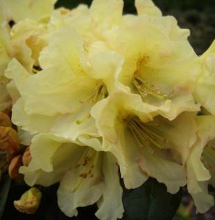 Großblumige Rhododendron Buffalo 30-40cm - Alpenrose