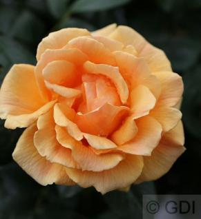 Floribundarose Easy Going® 30-60cm