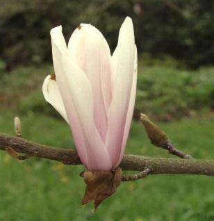 Magnolie Sunsation 100-125cm - Magnolia