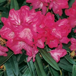 INKARHO - Rhododendron Diamant 25-30cm - Alpenrose