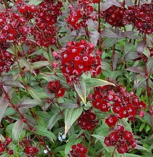Bartnelke Sooty - Dianthus barbatus