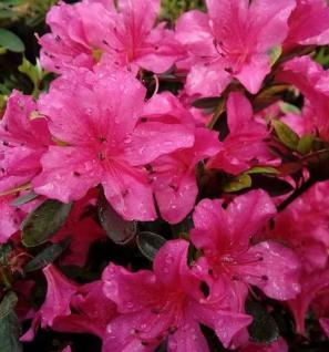 Kriechende Immergrüne Zwerg Azalee Purnululu 40-50cm - Rhododendron nakaharai