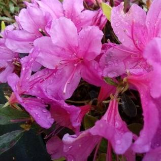 Kriechende Immergrüne Zwerg Azalee Iguazu 20-25cm - Rhododendron nakaharai