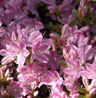Japanische Azalee Kermesina Rose 50-60cm - Rhododendron obtusum - Alpenrose