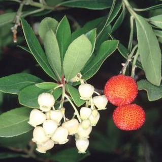 Erdbeerbaum 30-40cm - Arbutus unedo