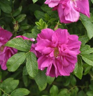 Apfelrose Angelina Purple® 30-40cm - Rosa rugosa
