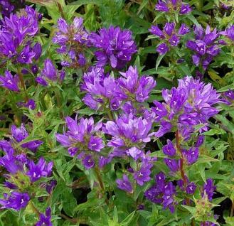 Knäulglockenblume Acaulis - großer Topf - Campanula glomerata - Vorschau