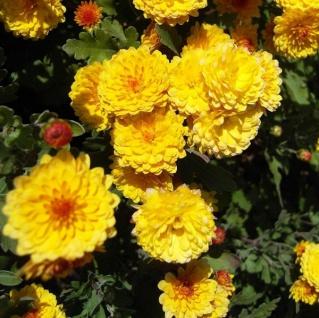 Winteraster Citronella - Chrysanthemum hortorum
