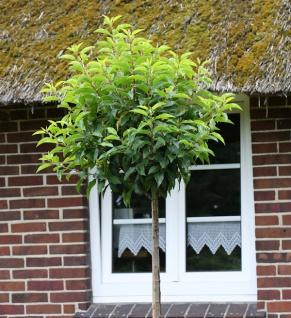 Hochstamm Portugiesische Lorbeerkirsche Angustifolia 80-100cm - Prunus lusitanica