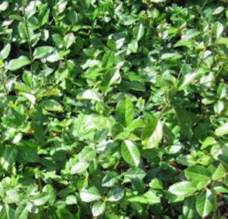 10x Kriechspindel radicans 15-20cm - Euonymus fortunei