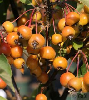 Hochstamm Zierapfelbaum Pom Zai 80-100cm - Malus Hybride