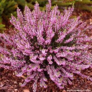10x Knospenheide Gardengirls Rosann - Calluna vulgaris