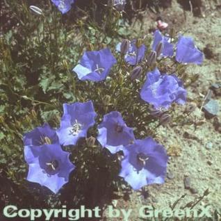 Karpaten Glockenblume Blaue Clips - Campanula carpatica