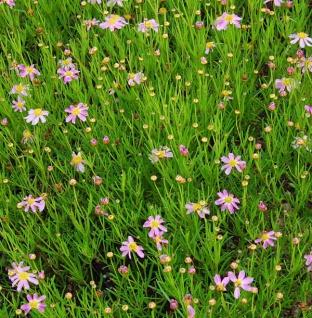 Rosablühendes Schönauge American Dream - Coreopsis rosea