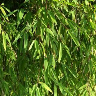 Gartenbambus Jiuzhaigou-1 100-125cm - Fargesia - Vorschau