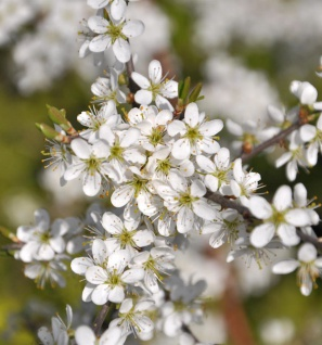 Schwarzdorn 100-125cm - Prunus spinosa