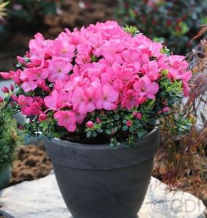 Buxsartige Japanische Azalee Anouk 15-20cm - Rhododendron obtusum - Zwerg Alpenrose