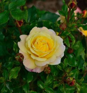 Floribundarose Rose der Hoffnung 30-60cm