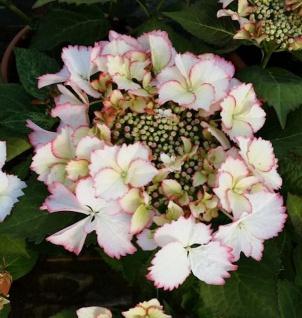 Bauernhortensie Love You Kiss® 40-60cm - Hydrangea macrophylla
