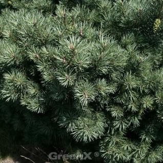 Lettische Zwerg Waldkiefer 10-15cm - Pinus sylvestris