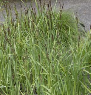 Sumpfsegge - Carex acutiformis