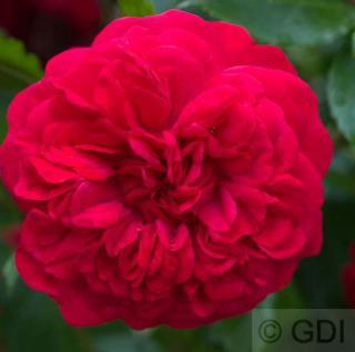 Hochstamm Rose Out of Rosenheim® 80-100cm