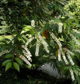 Portugiesischer Kirschlorbeer Myrtifolia 100-125cm - Prunus lusitanica