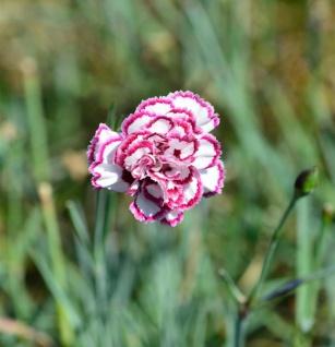 Federnelke Grans Favourite - Dianthus plumarius