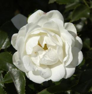 Hochstamm Rose Innocencia® 80-100cm