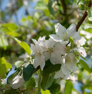 Apfelbaum Dülmener Rosenapfel 60-80cm - saftig und locker