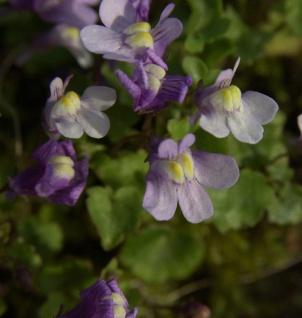 Leinkraut Neon Licht - Linaria aeruguinea