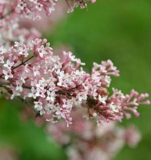 Hochstamm Herbst Flieder Superba 100-125cm - Syringa microphylla - Vorschau