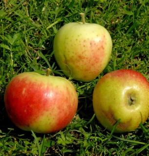 Apfelbaum Stark Earlist 60-80cm - zart und edel