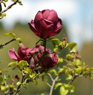 Hochstamm Schwarzrote Tulpenmagnolie 100-125cm - Magnolia
